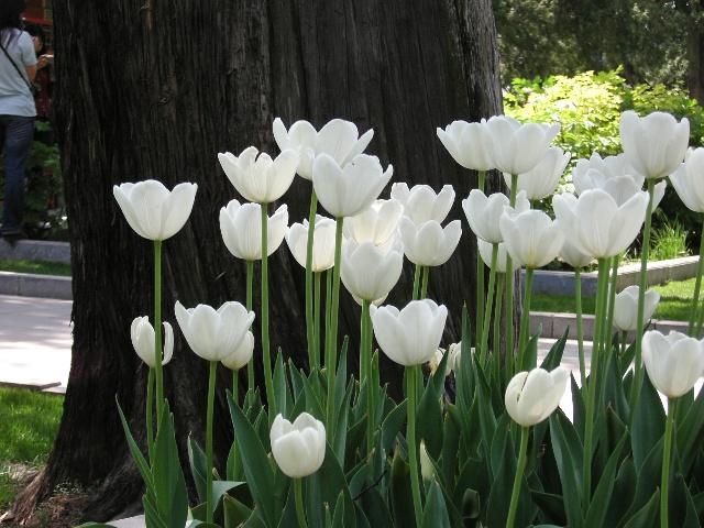 唯美花花的图片及花语 古代吧 百 郁金香 -- 魅惑、爱之寓言