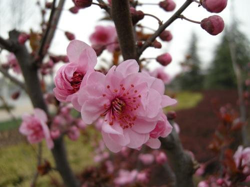 桃树,杏树,梨树,你不让我,我不让你,都开满了花赶趟儿.