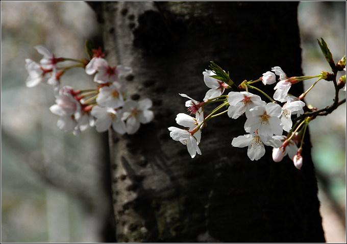 晴川历历樱花树,芳草萋萋鹦鹉洲