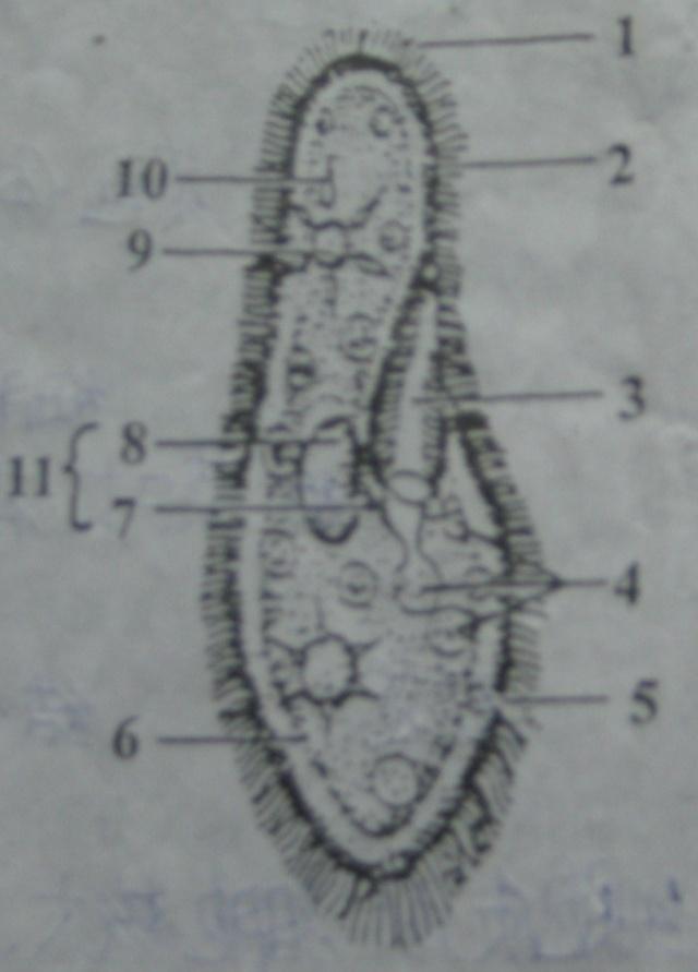 右图为草履虫的结构示意图