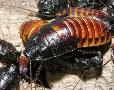 马达加斯加发声蟑螂因为会发出嘶嘶的声音