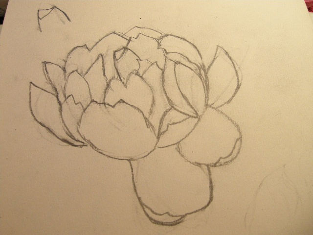 铅笔画牡丹图片