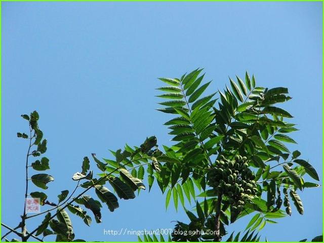 香椿树上结葡萄