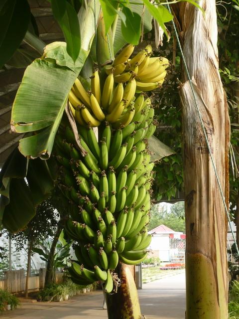 香蕉的生长过程-汪自强的blog-搜狐博客