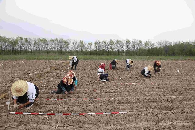 玉米试验地第一批播种结束[图]